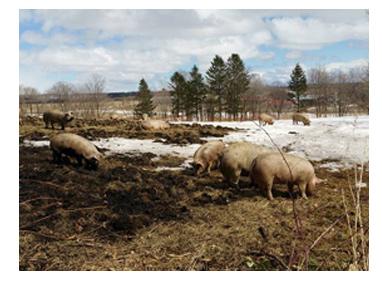 養豚場の風景