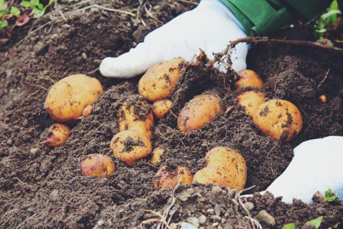 ファーム梅村さんの畑でインカのめざめの収穫体験。土がふっかふかでした。